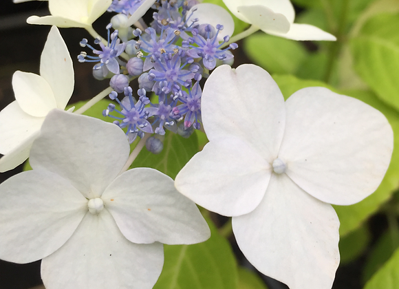 Hydrangea Opuloides PICK UP ONLY