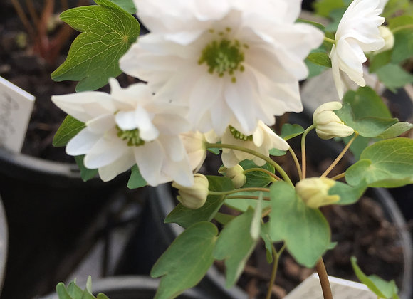 Anemonella thalictroides double white
