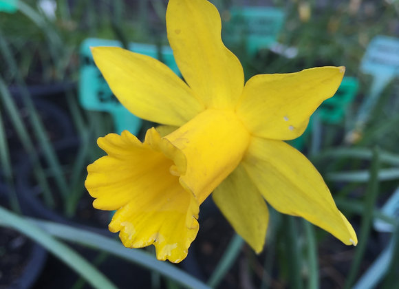 Narcissus Little Gentleman