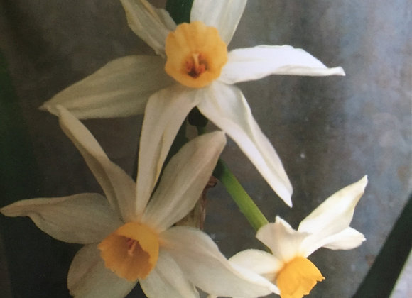 Narcissus Orientalis double Roman