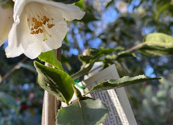 Camellia White Baby Bear