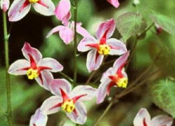 Epimedium versicolor Cherry Tart