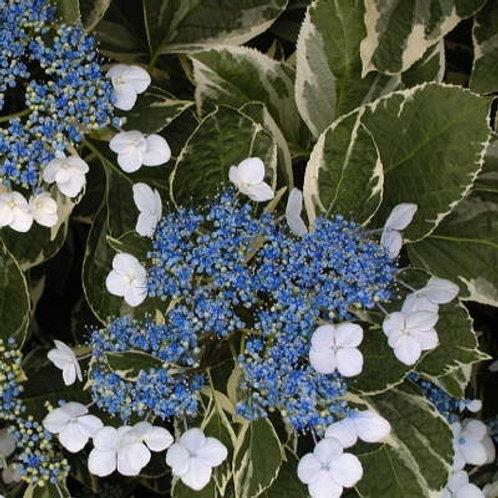 Hydrangea Macrophylla Variegata