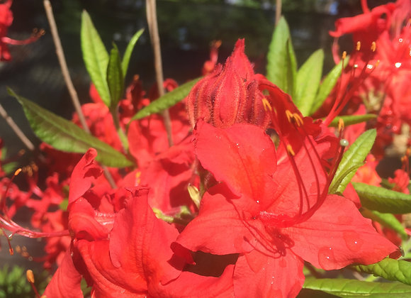 Deciduous azalea Knap hill Red