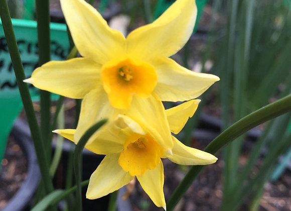 Narcissus Intermedius