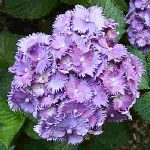 Hydrangea Macrophylla Prince Henry