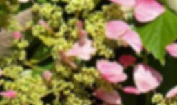 Schizophragma Hydrangeoides Roseum .jpg