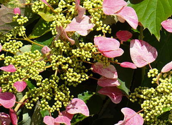 Schizophragma Hydrangeoides Roseum PICK UP ONLY