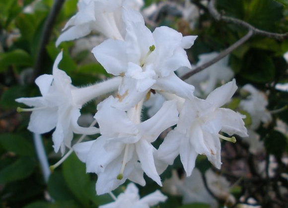 Deciduous azalea White throat PICK UP ONLY