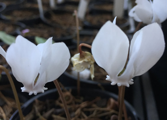 Cyclamen Hederifolium Nettleton Silver Alba