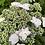Thumbnail: Hydrangea Macrophylla Lilacina PICK UP ONLY