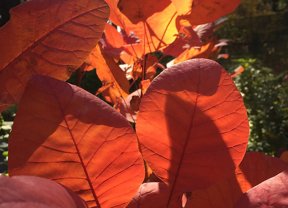 Cotinus Coggygria Grace PICK UP ONLY