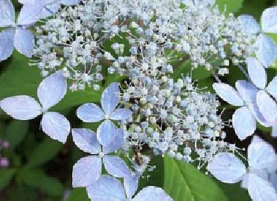 Hydrangea Serrata Shishioa PICK UP ONLY
