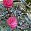 Thumbnail: Camellia Tiny Lotus
