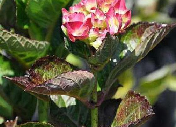 Hydrangea Macrophylla Merveille Sanguine PICK UP ONLY