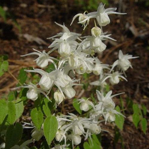 Epimedium x youngianum Lilliputian