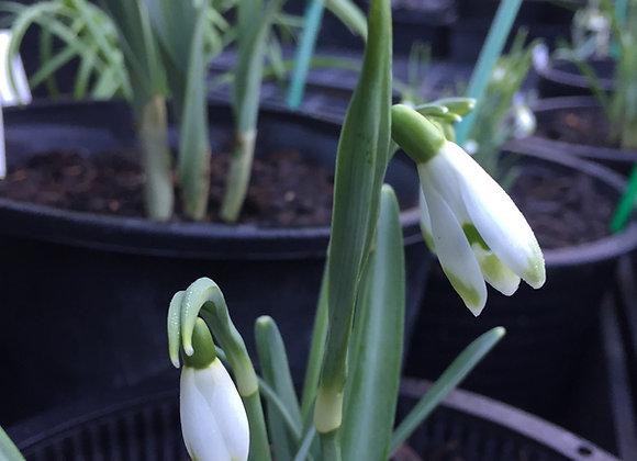 Galanthus Viridapics