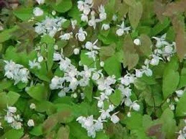 Epimedium Dutch White