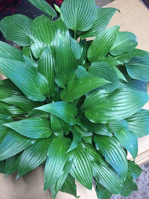 Hosta Olga's Shiny Leaf