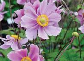 Anemone x Hybrid Single Pink