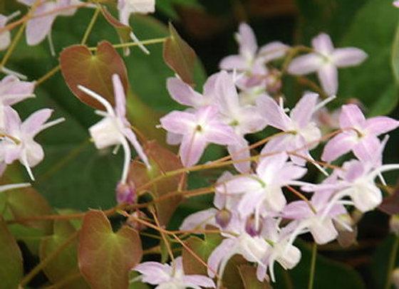 Epimedium x youngianum Pink Star