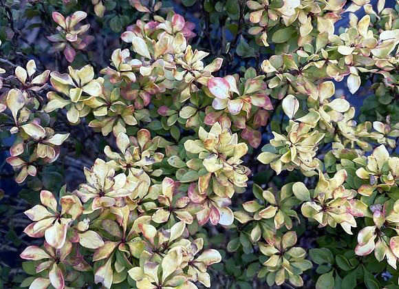 Berberis thunbergii Golden Glow PICK UP ONLY