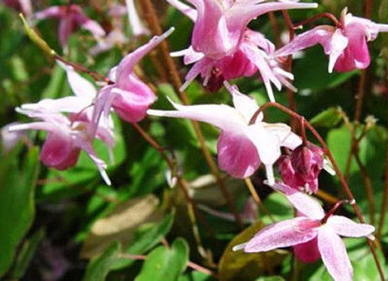 Epimedium x youngianum Japanese Cultivar