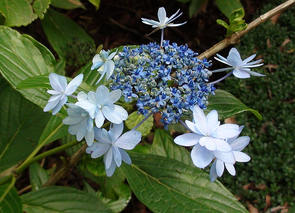 Hydrangea Macrophylla Hanabi PICK UP ONLY