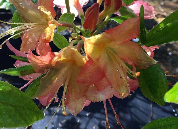 Deciduous azalea Turncoat
