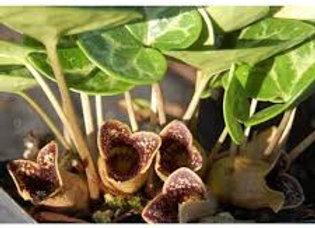 Asarum Shuttleworthii