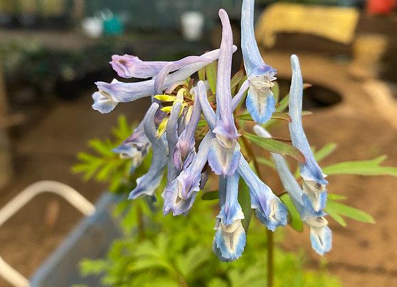 Corydalis Flexuosa China Blue