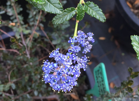 Ceanothus Joyce Coulter PICK UP ONLY