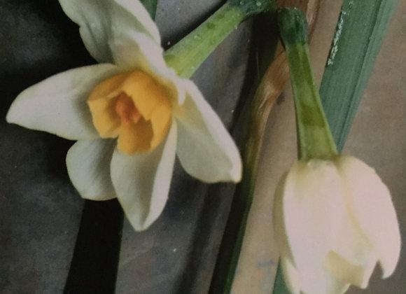 Narcissus Brentswood