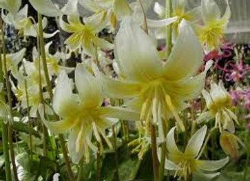 Erythronium Cream