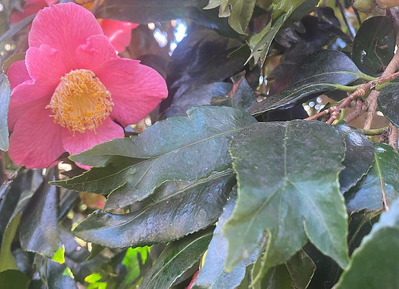 Camellia japonica kingyo tsubaki (Fishtail)