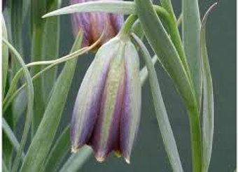 Fritillaria Stribrnyi