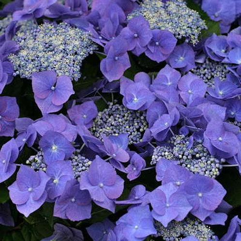 Hydrangea Macrophylla Blue Wave
