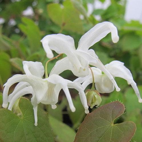 Epimedium sempervirens Okuda's White