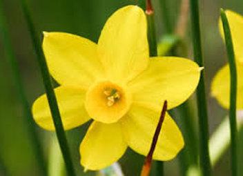 Narcissus Gracilis