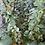 Thumbnail: Berberis thunbergii Pow Wow