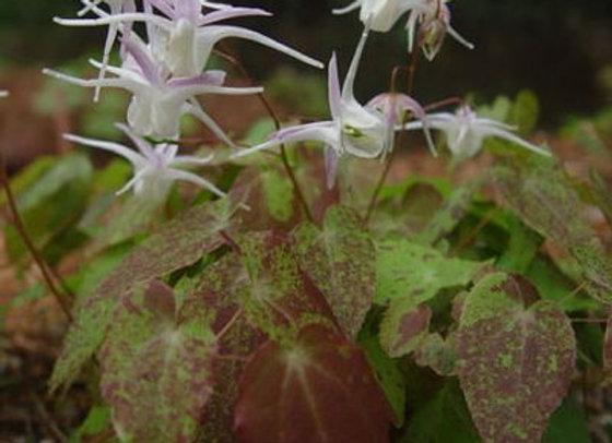 Epimedium x youngianum Freckles