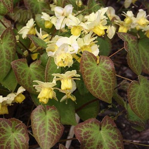 Epimedium versicolor Neosulphureum