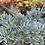 Thumbnail: Artemisia absinthium Lambrook Silver PICK UP ONLY