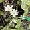 Thumbnail: Hepatica Alba