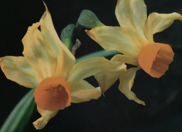 Narcissus Bertolonii