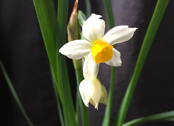 Narcissus Odoratus