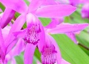 Bletilla Striata Pink