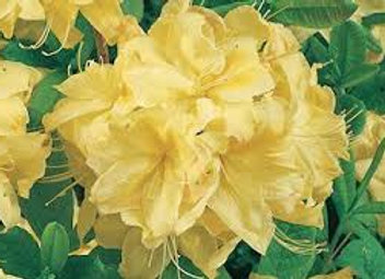 Deciduous azalea Mernda Yellow PICK UP ONLY