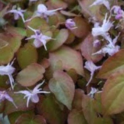 Epimedium x youngianum Royal Flush