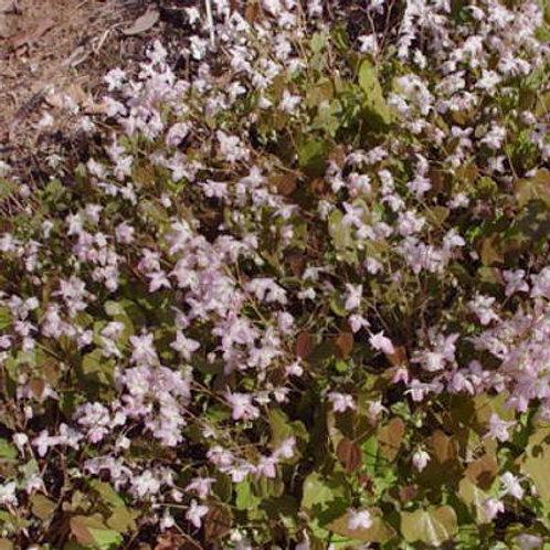 Epimedium x youngianum Fairy Dust